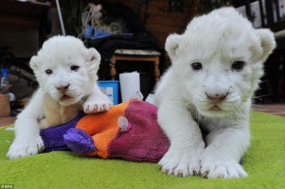 Пополнение у белых львов2