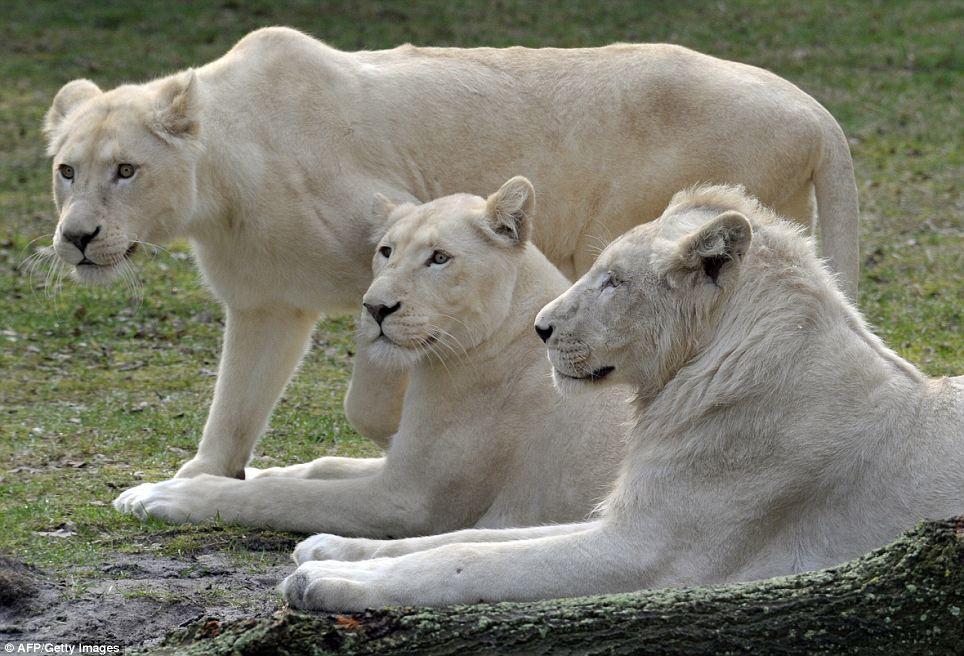 Пополнение у белых львов5