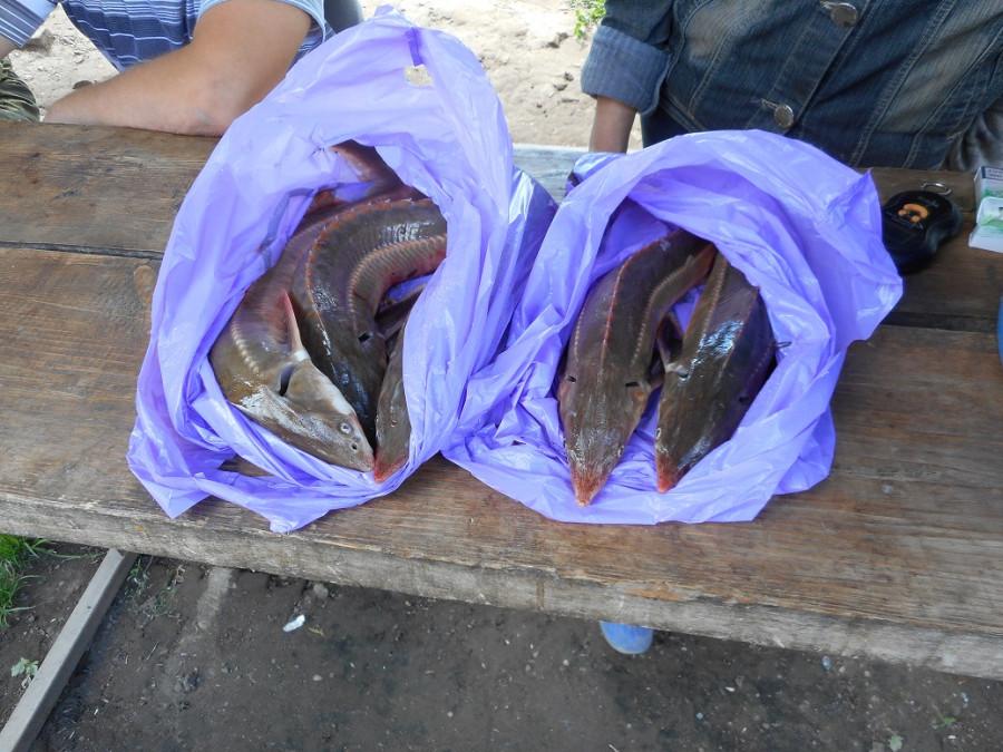 Рыба 2015 07 26 (3).JPG