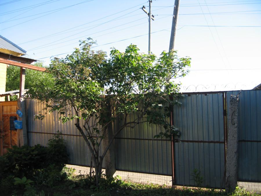 Малмыжские деревья (01).JPG