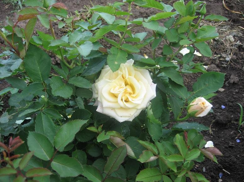 Цветы тёщины (1)