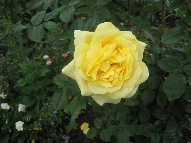 Цветы тёщины (3)