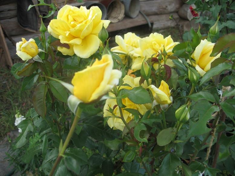 Цветы тёщины (4)