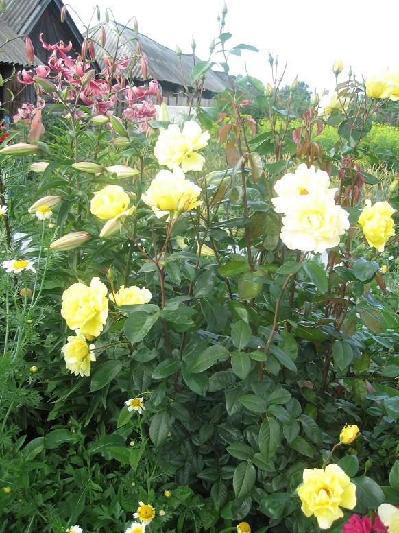 Цветы тёщины (5)