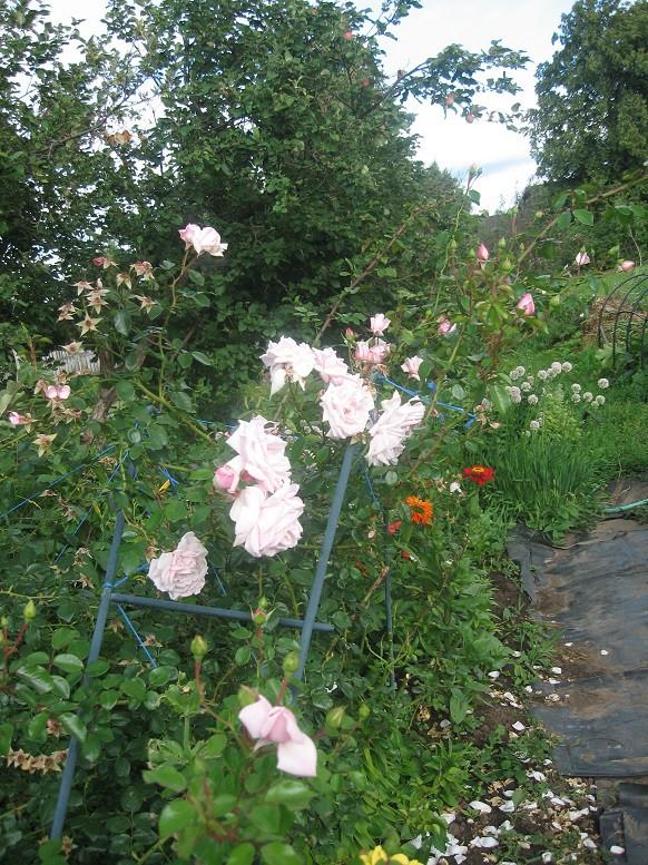 Цветы тёщины (7)