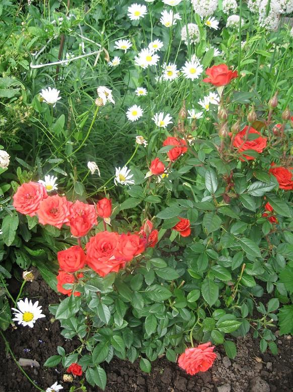 Цветы тёщины (8)