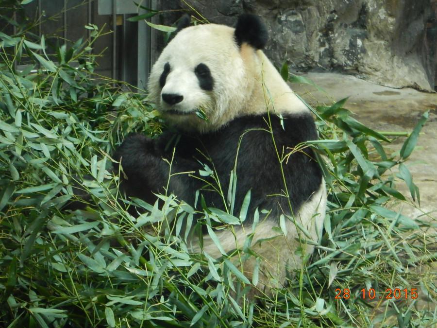 Панда и бамбук.JPG