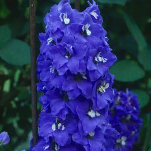 Delphinium_Bluebird_1_lg
