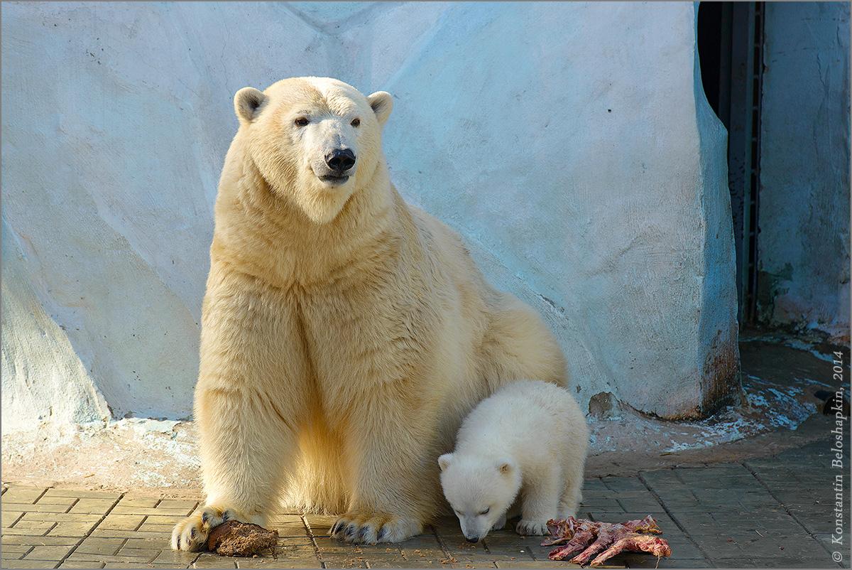 Белые медведи 1200_