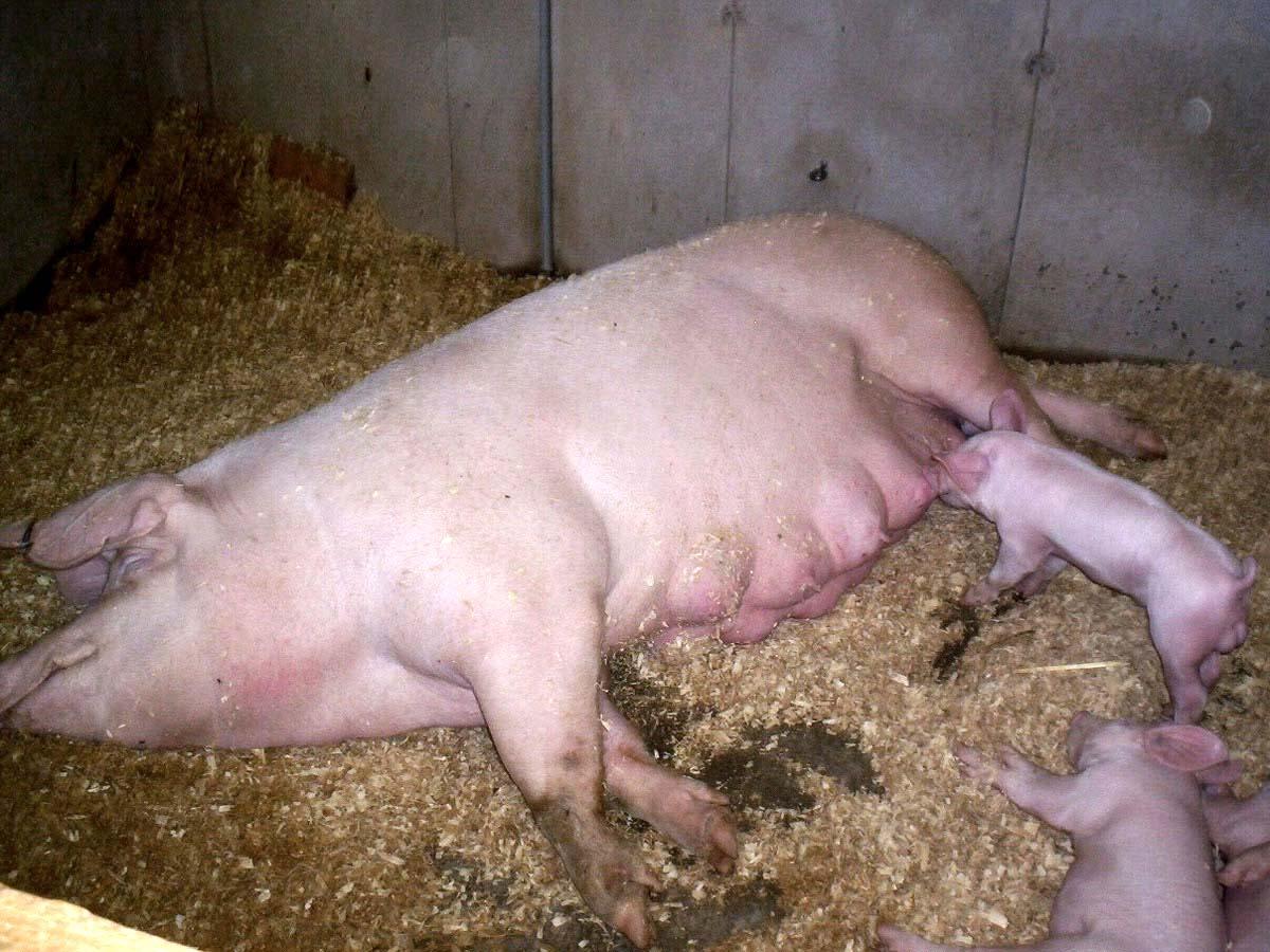Секс з свинями 7 фотография