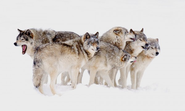 wolf-pack-mentality-560768933