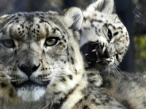 my spirit-shapes: snow leopard, egyptian cobra, north