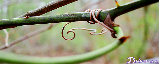 a woody green vine with thorns, with brown tendrils wrapped around it and curling down from it. The tendrils are in focus and the thorns are unfocused. The background is a soft blur of green and brown