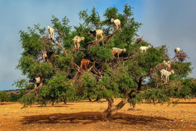козы на дереве аргании. фото из сети