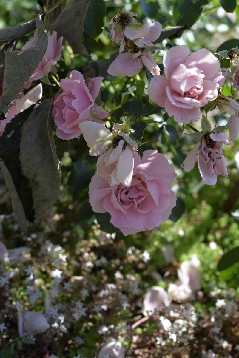 Розы 4