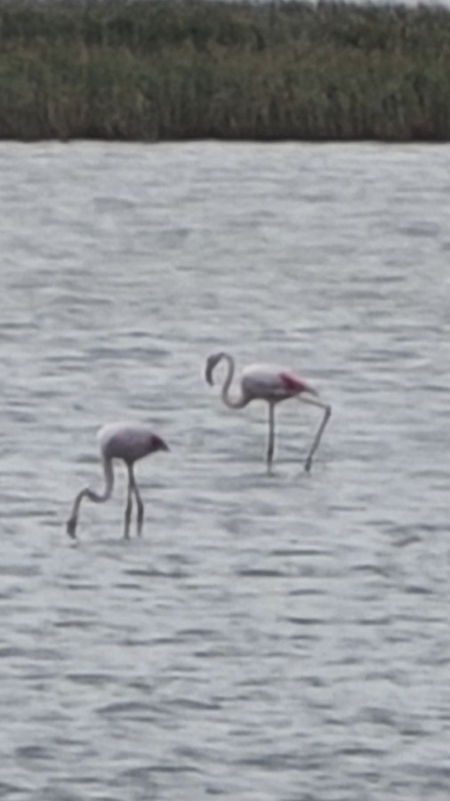 Это фламинго