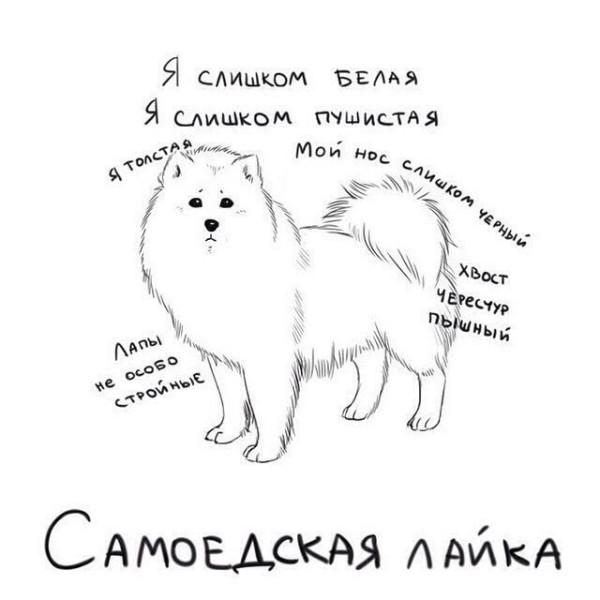 самоедская-лайка-собака-живность-1734546