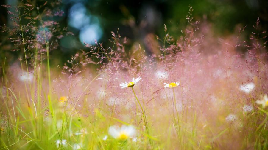 lug-trava-romashki-cvety-leto