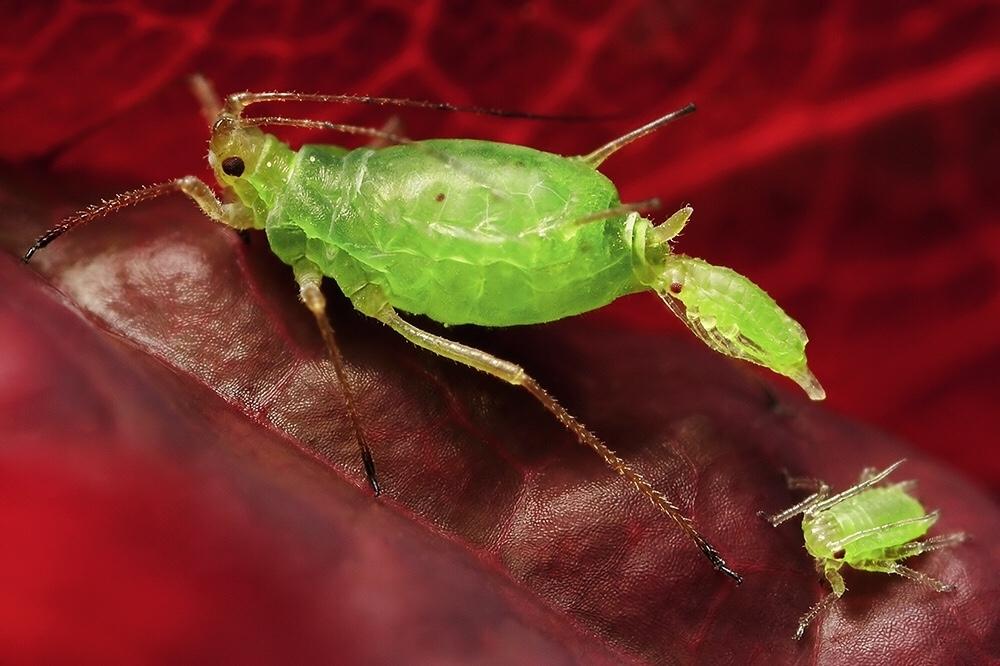 тля (Aphidoidea)