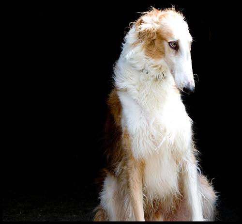 Russian_Wolfhound_Borzoi_02