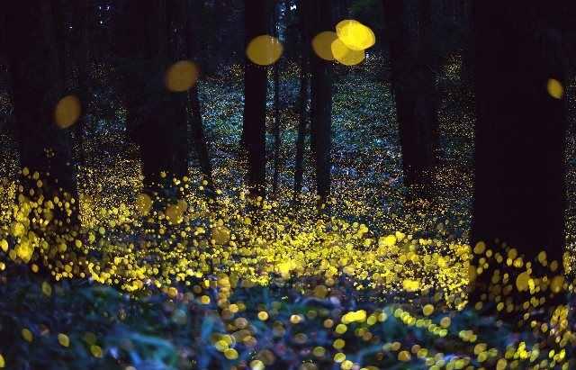 Светлячки излучают холодное свечение