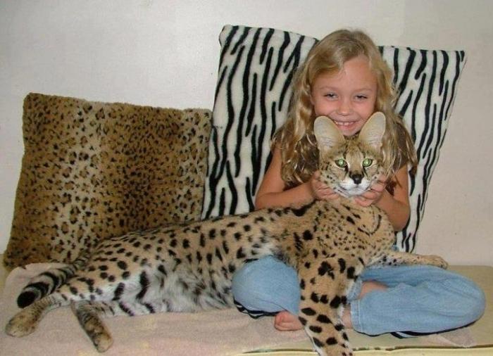крупная кошка саванна