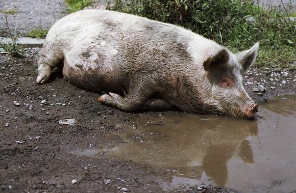 пьяная свинья