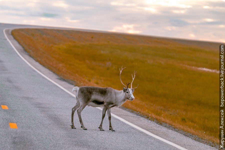 Ах вот ты какой, северный олень!