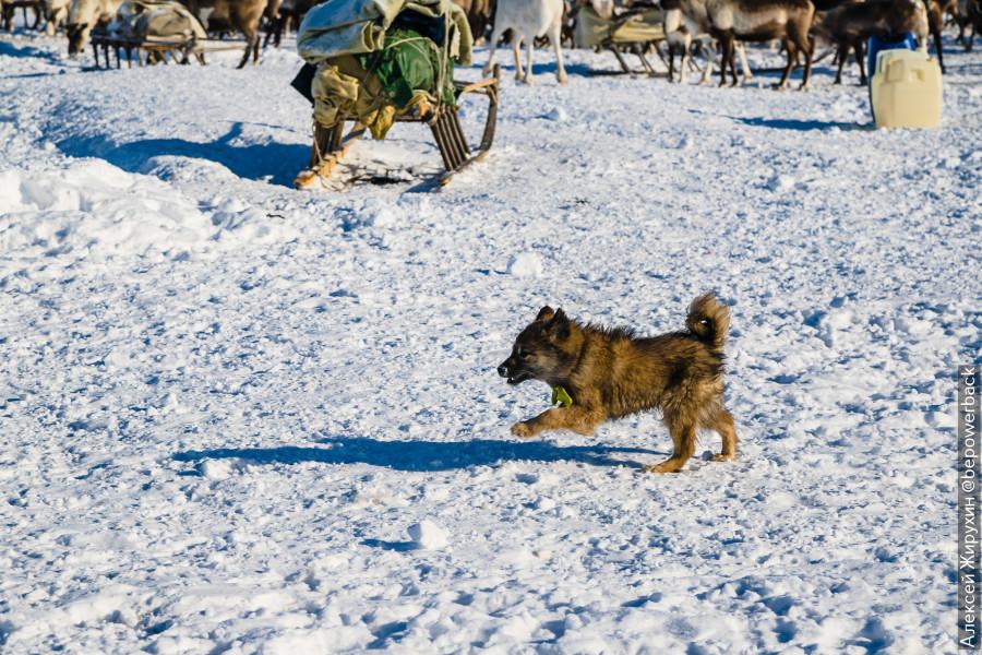 Уникальные собаки, которые живут в тундре и не боятся жутких морозов
