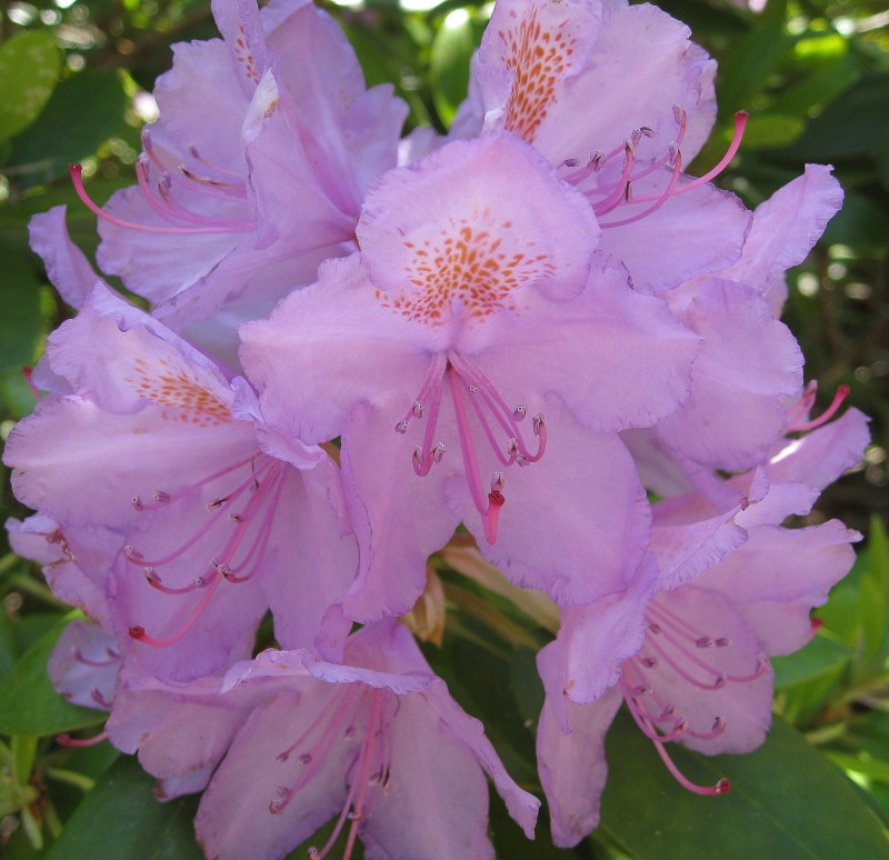 Rhododendron1 (4)
