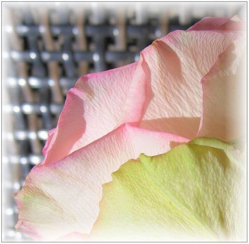 Roses_ (72)