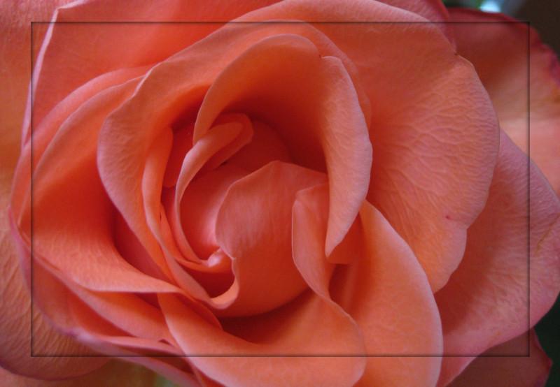 Roses_ (91)