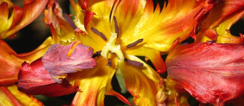 Tulips_06