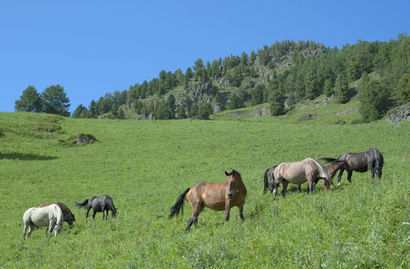 Лошади на подъеме на перевал Пологий