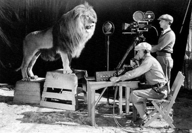 Съемка-знаменитого-львиного-рыка-на-заставку-MGM