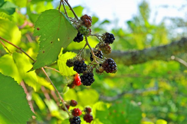 blackberries3