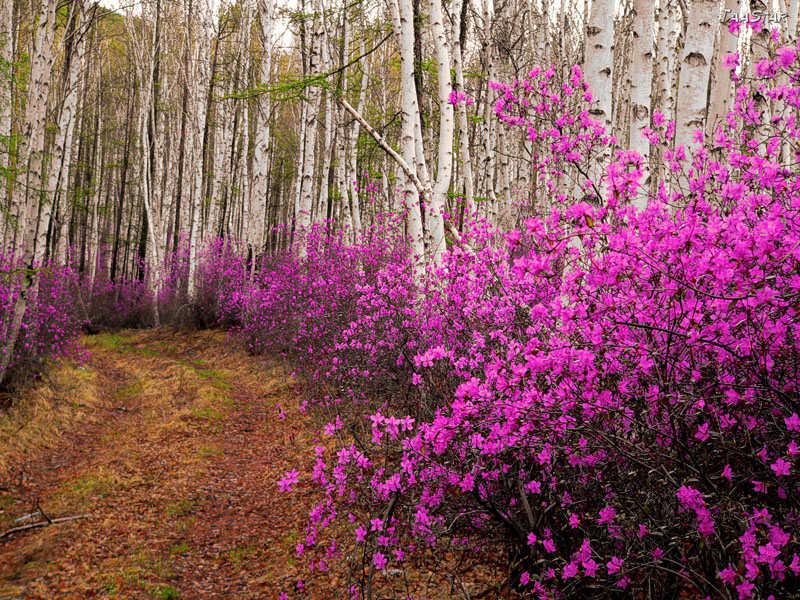 маральник цветёт