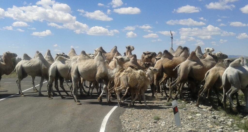 стадо_верблю