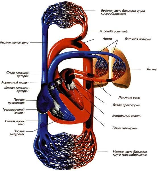 В тканях происходит газообмен.