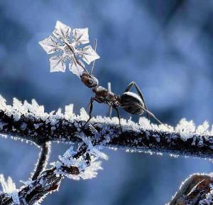 зимний муравей