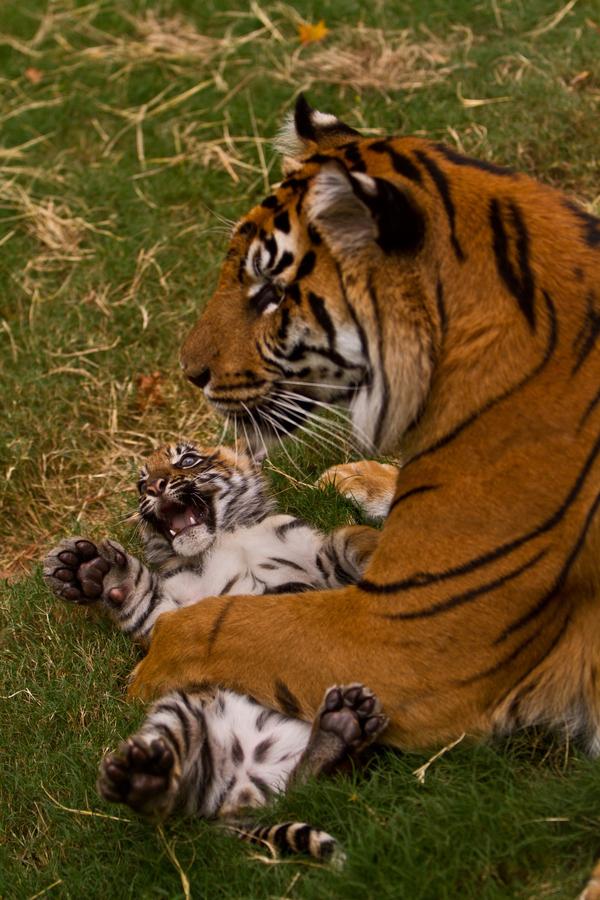 живность-тигр-песочница-3428100
