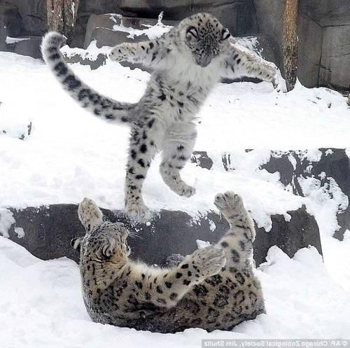 два-снежных-барса