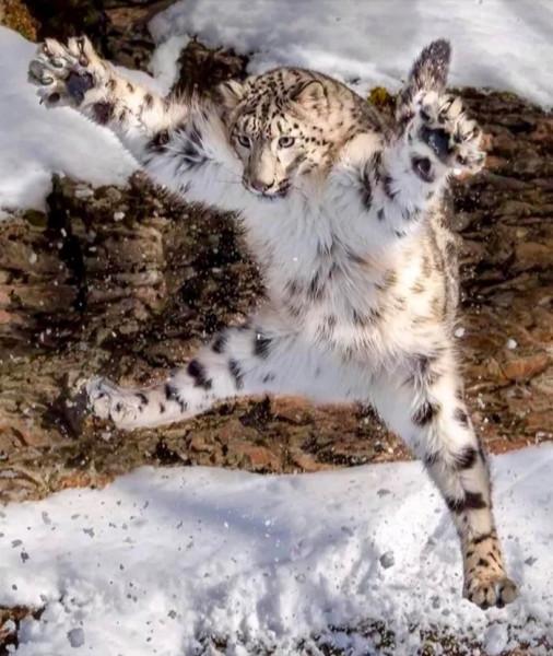 ирбис-Леопард-котэ-5074826