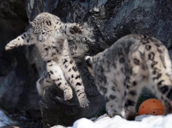 снежный-барс-Леопард-большой-котэ-4985665