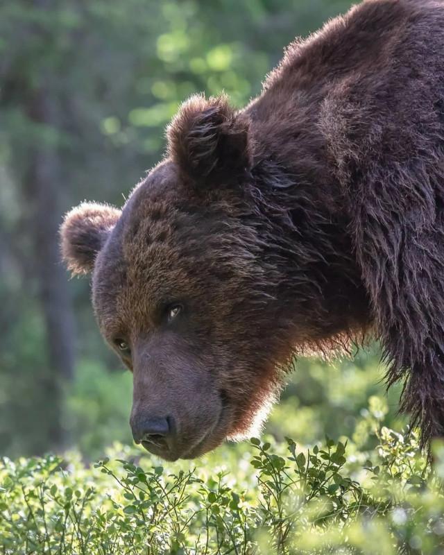 хитрожопый-медведь-5557777