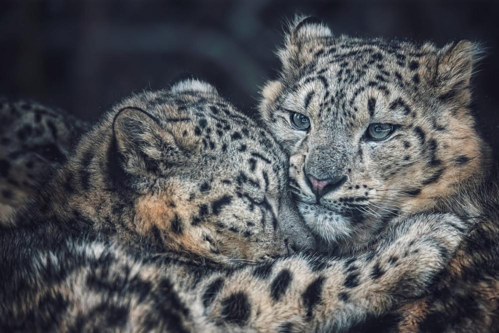 животный-мир-фото-снежный-барс-леопард-5716963