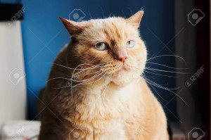 107726394-large-fat-cat-with-red-fur-looking-away-while-sitting-in-nice-room