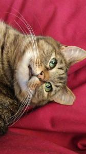 fat-cat-funny-face-117428241
