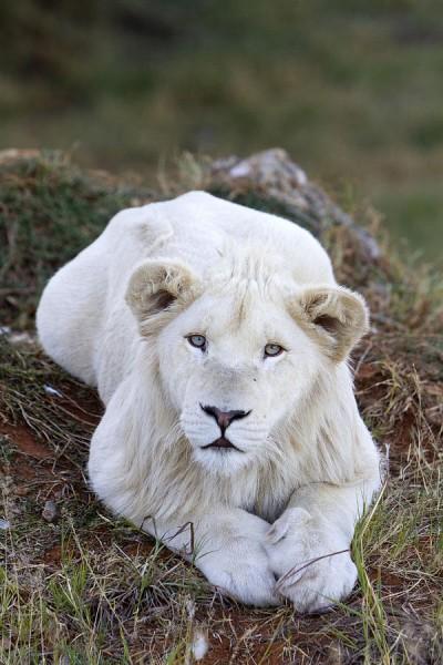white-lion-cub-m-watson