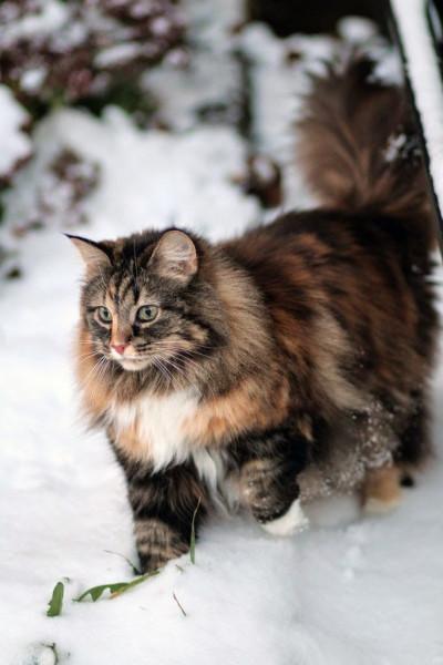370e7ed5c23eb203f435d4d8be09d696--siberian-cat-siberian-forest